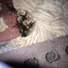 European Hornet Nest Removal in Johns Creek