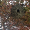 bald faced hornet nest suwanee in Olde Atlanta Golf Club