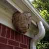 Typical Bald Faced Hornet Nest the size of a Basketball in Suwanee