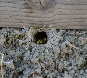 yellowjacket ground nest removal