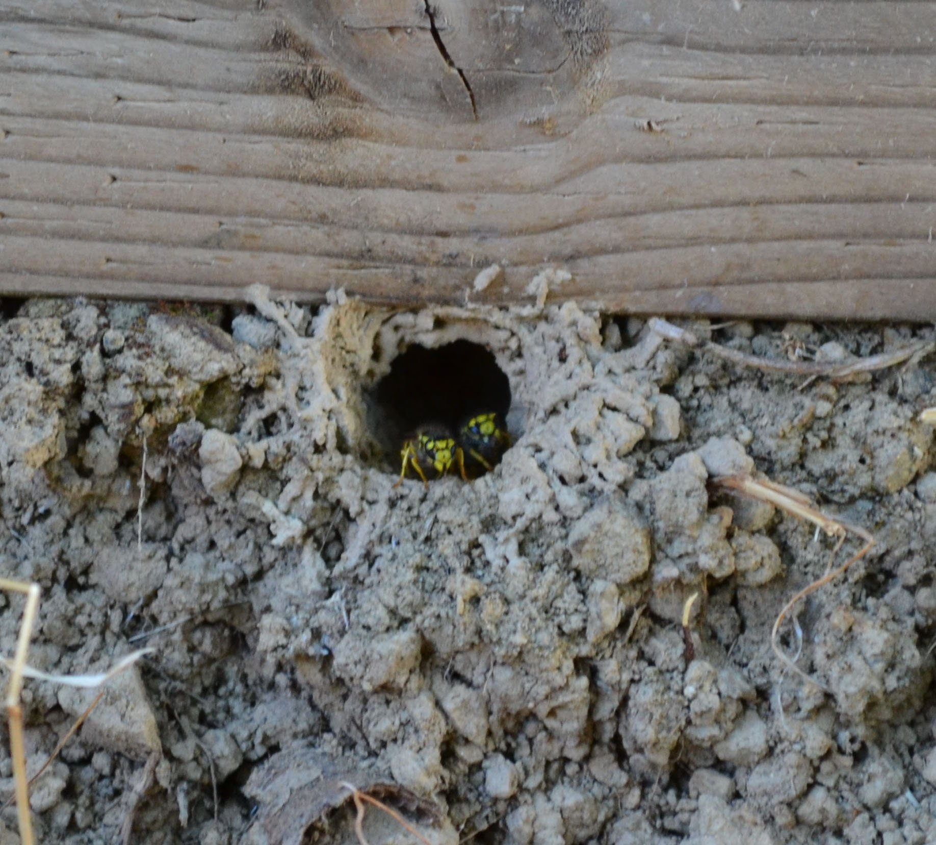 Yellowjacket Hive Removal Ground Nest